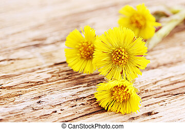 coltsfoot - Flowers coltsfoot on a wooden board