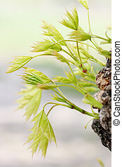 Young shoots maple - Young shoots in spring bloom on the...