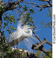 Great Egret Displays Plumage - A large white great egret...