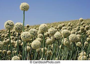 Onion field in flower - Spherical white onion flowers in a...