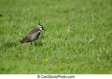 Northern Lapwing walking in grass