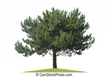 Pine tree isolated on a white background