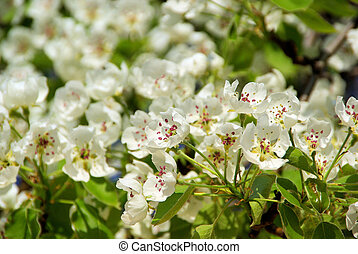 flowering of pear tree 62