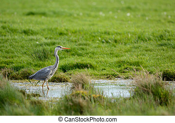 Blue heron in Ditch - Blue Heron walking in ditch