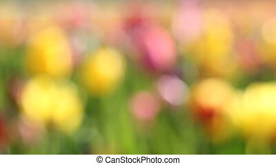 Colorful Tulips Out of Focus - Bright Colorful Tulips Out of...