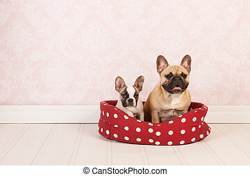 Dogs in basket - Two French bulldogs in red dotted basket in...