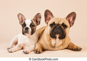 French bulldogs laying on cream background - French bulldogs...