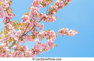 spring peach tree with flowers under blue sky