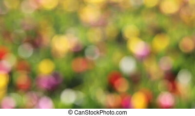 Colorful Tulips Out of Focus Bokeh - Bright Colorful Tulips...