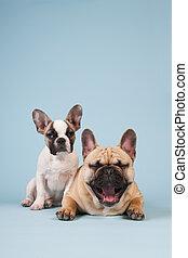 francés, Bulldog, perrito, Adulto, perro