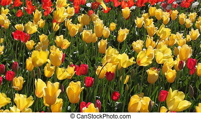 Colorful Tulips on a Breezy Day - Colorful Yellow and Red...