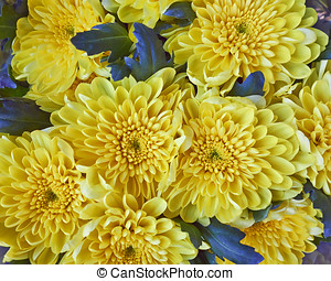 yellow chrysanthemums bunch, natural background