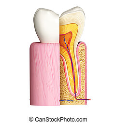 Anatomy of Teeth with cut section - 3d rendered illustration...