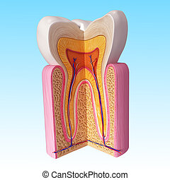 Human teeth cut section - 3d rendered illustration of human...