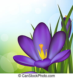Crocus, Spring Flowers, Vector Illustration