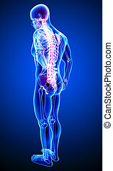 Anatomy of male back pain on blue - 3d rendered illustration...