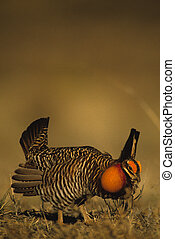 Prairie Chicken Strutting - a male prairie chicken strutting...
