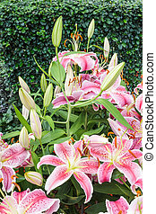 Pink Blossoming lilies - Close up Pink Blossoming lilies in...