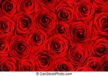 Background of red roses - Background of beautiful red roses