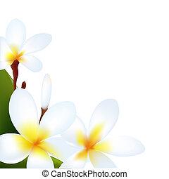Frangipani, Isolated On White Background