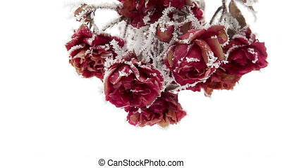Roses in Hoarfrost - Flowers climbing roses covered with...