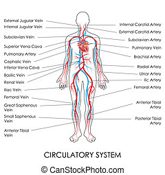 Circulatory System - vector illustration of diagram of...