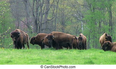 American Buffalo Grazing - Herd of American buffalo grazing...