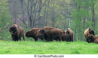 American Buffalo Grazing - Herd of American buffalo grazing...