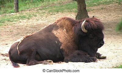 American Bison - Close-up of buffalo trying to keep cool on...