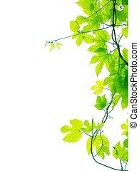 Vine leaves on white plain background