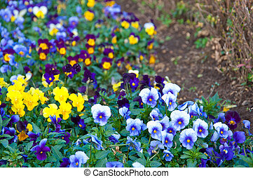 The colorful of Pansy on the ground - The colorful of Pansy...