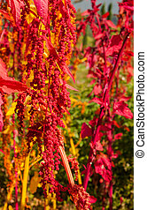 el, colorido, Quinoa, árbol, granja