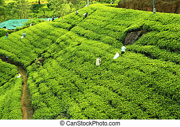 people picking tea on plantation