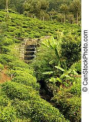 tea plantation with creek