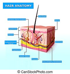 Anatomy of human hair follicles - 3d rendered illustration...