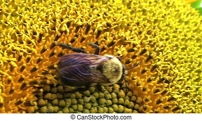 Bumble Bee on Sunflower - Close-up of bumble bee on head of...