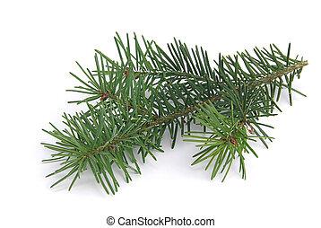 fir branch 04