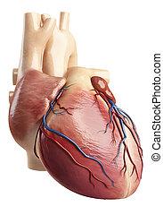 anatomía, de, corazón, interior