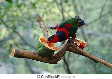 Black-capped lory was being feed by a papaya