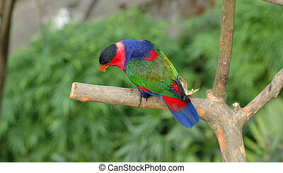 Black-capped lory - A colorful black-capped lory sitting on...