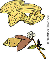 Almond Graphic - Hand drawn graphic of almonds and almond...