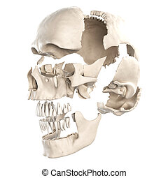 The parts of the human skull - Anatomy illustration showing...