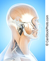 The facial muscles - Anatomy illustration showing the facial...