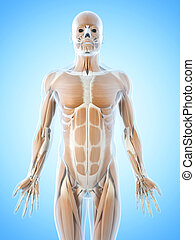 The abdominal muscles - Anatomy illustration showing the...
