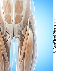 The hip muscles - Anatomy illustration showing the hip...