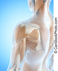 The shoulder muscles - Anatomy illustration showing the...