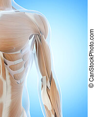 The arm muscles - Anatomy illustration showing the arm...