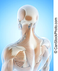 The back muscles - Anatomy illustration showing the back...