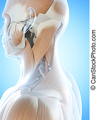 The neck muscles - Anatomy illustration showing the neck...