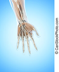 The hand muscles - Anatomy illustration showing the hand...